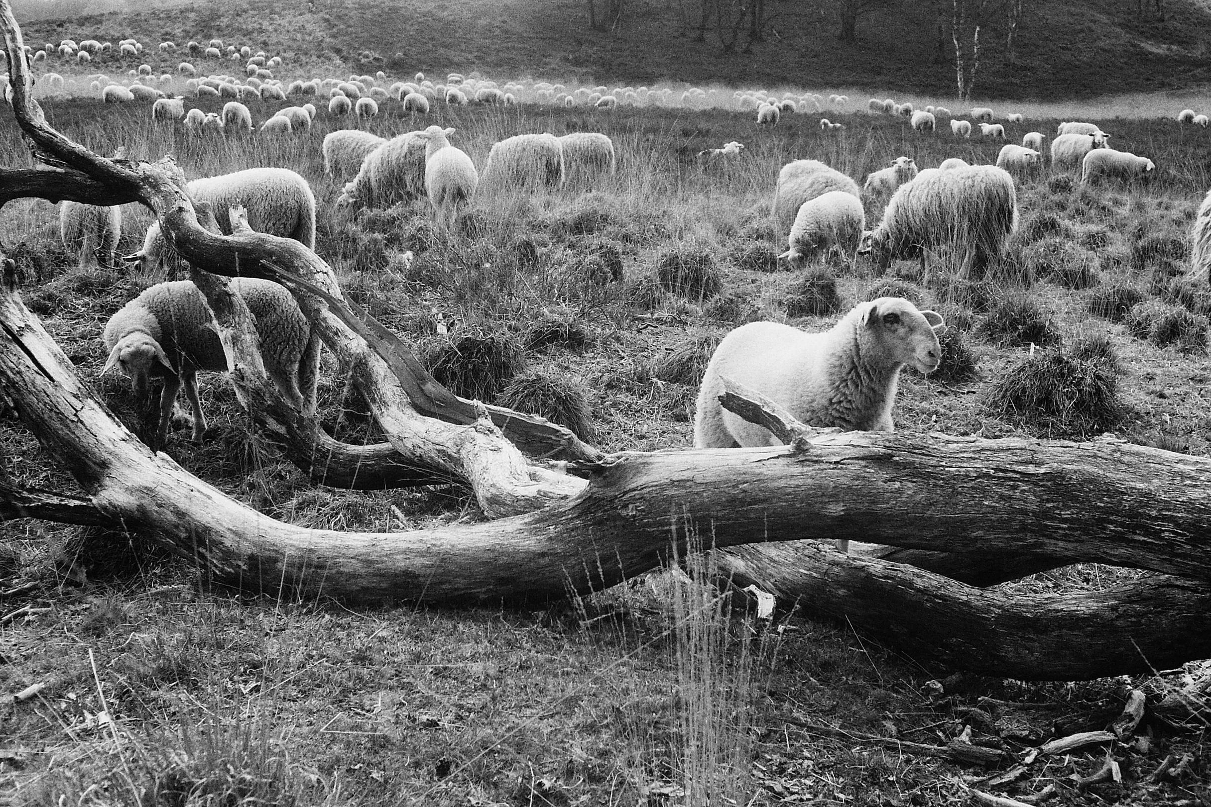 schapen-jagen_1