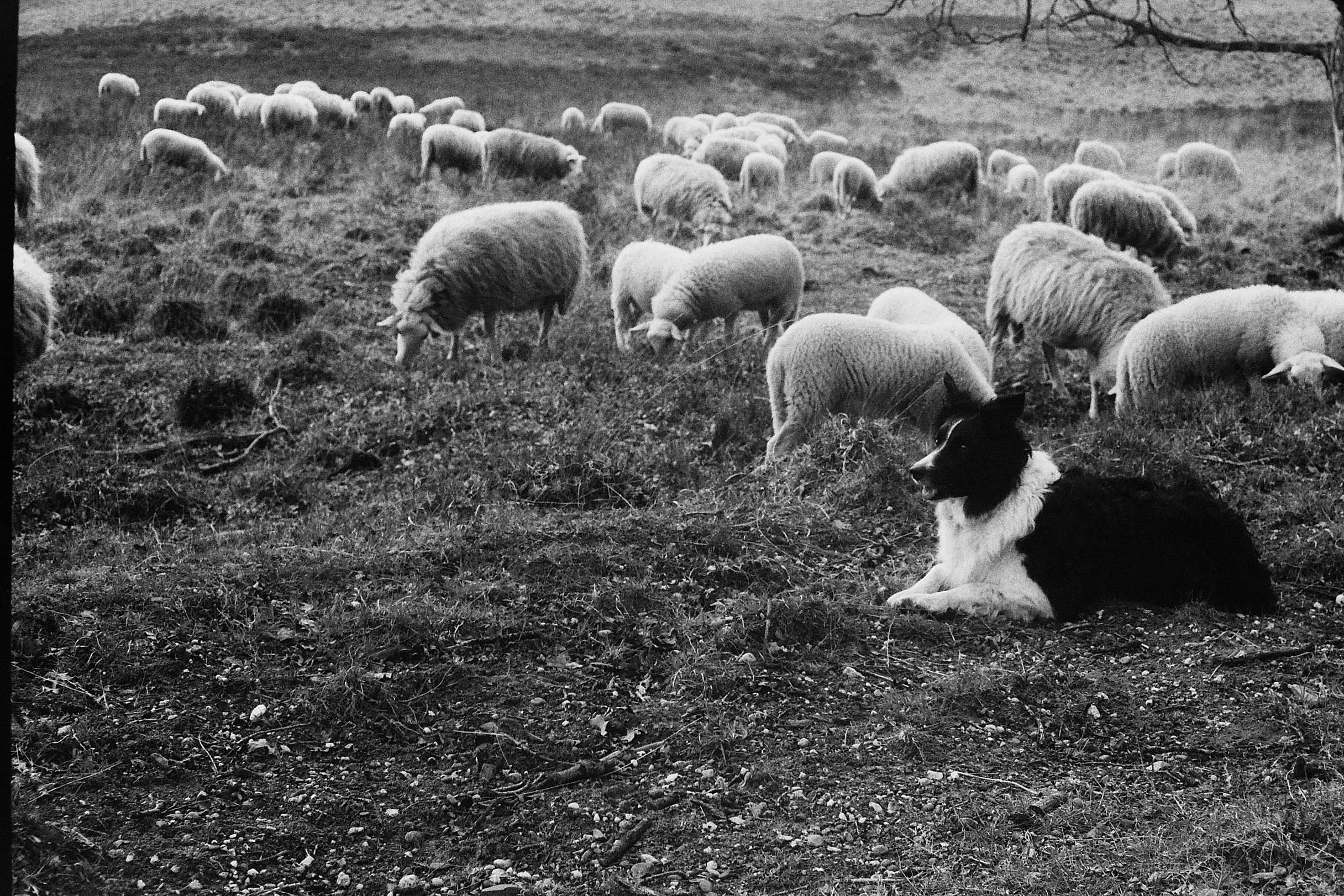 schapen-jagen_2