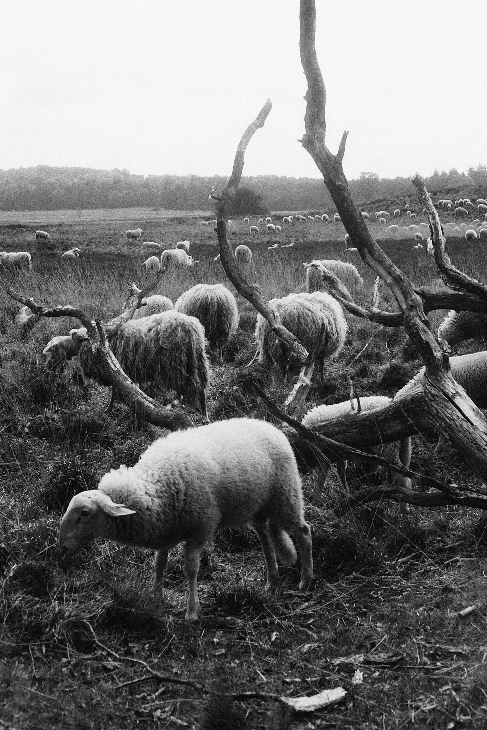 schapen-jagen_4