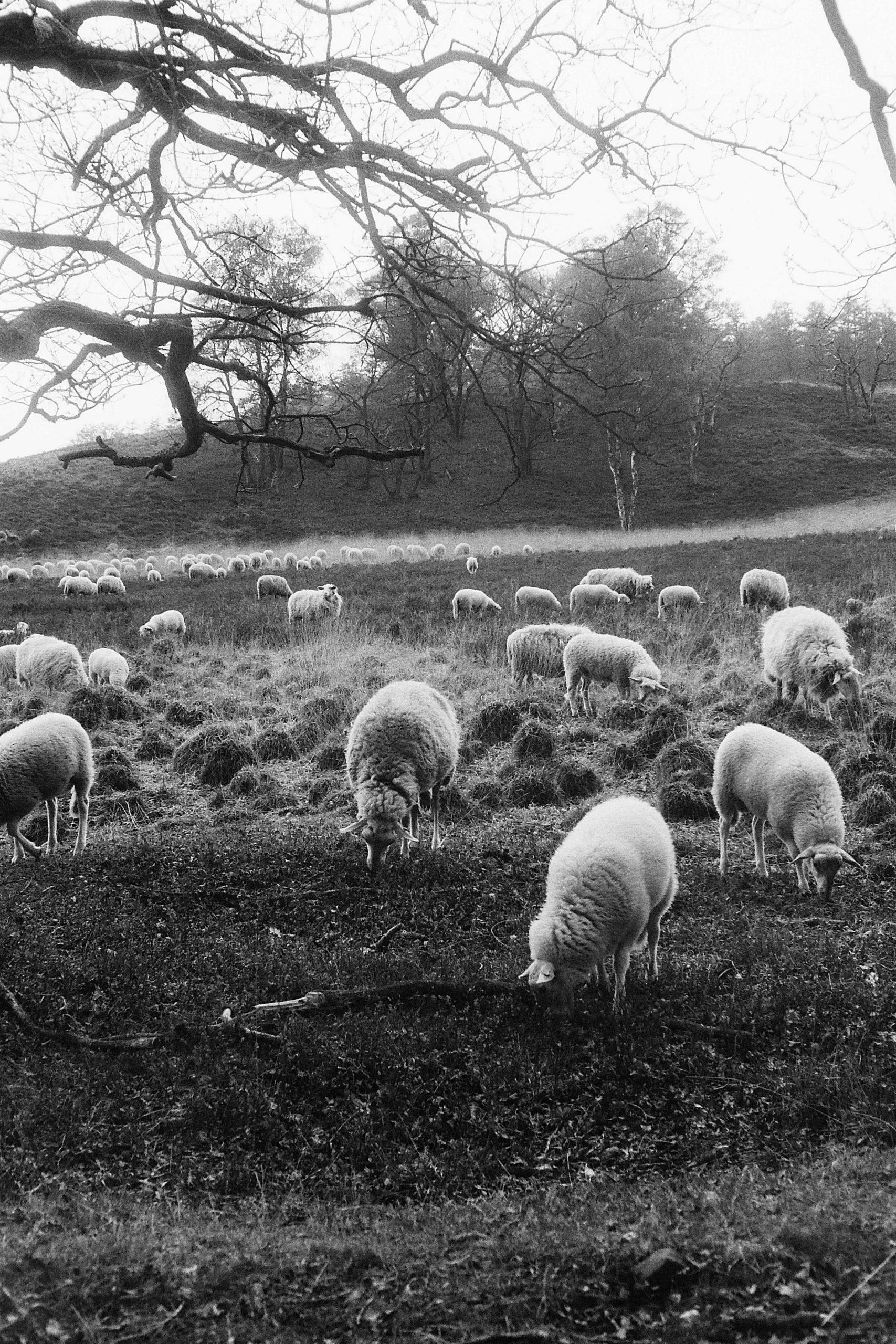 schapen-jagen_5