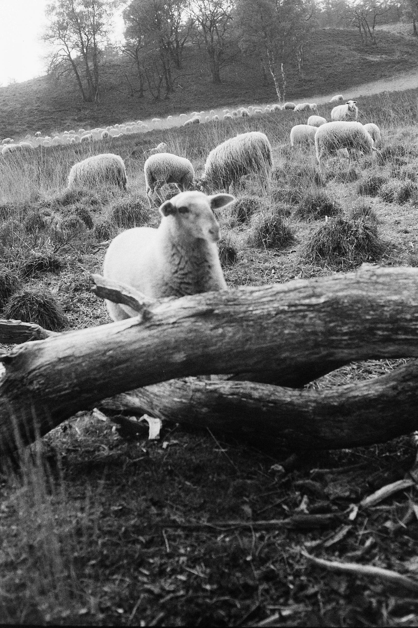 schapen-jagen_8